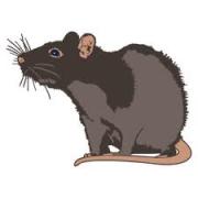 Laras kleine Ratte