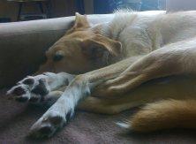 Milow - Sleeping Podengo-Style